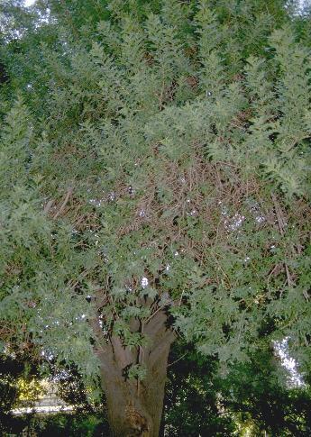 Schinus terebinthifolia Raddi