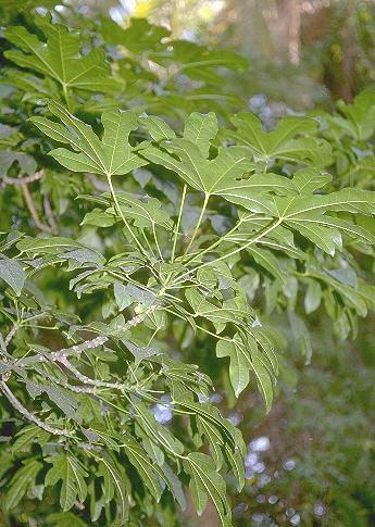 Sterculia acerifolia A. Cunn.