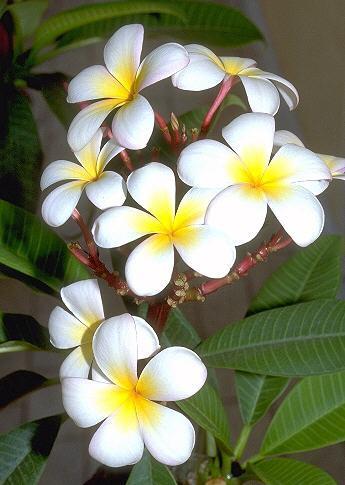 Plumeria tricolor Ruiz. & Pav.
