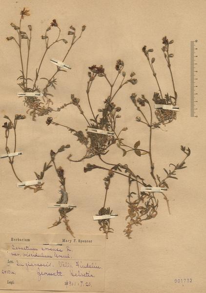 Cerastium arvense L. subsp. strictum Gaudin
