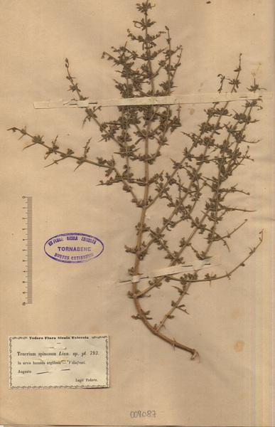Teucrium spinosum L.