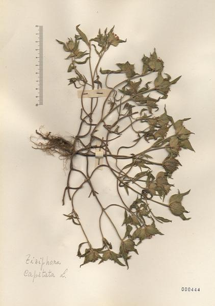 Ziziphora capitata L. subsp. capitata