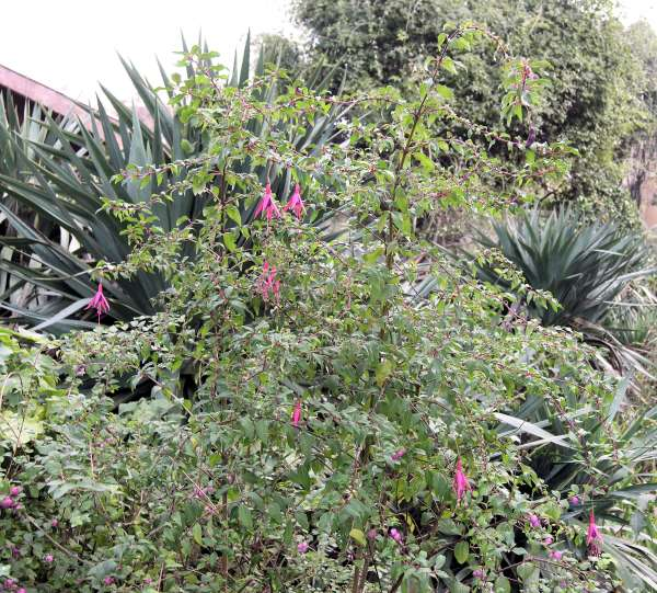 Fuchsia sp.