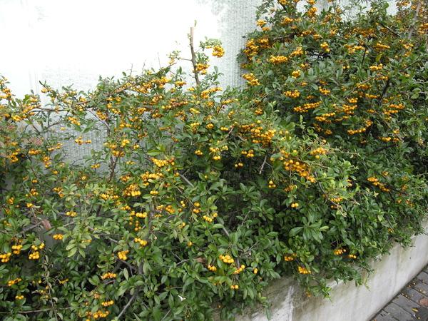 Pyracantha rogersiana (A.B. Jacks.) Coltm-Rog.
