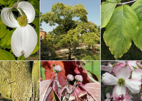Cornus florida L.