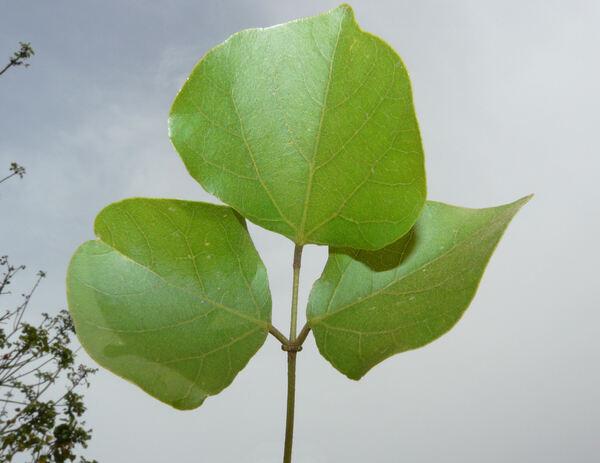 Erythrina crista-galli L.
