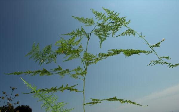 Asparagus setaceus (Kunth) Jessop