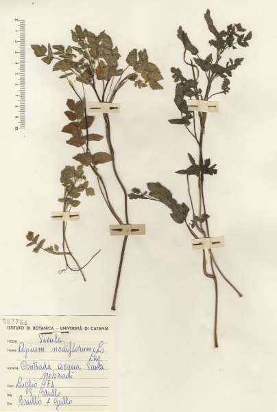 Trochiscanthes nodiflora (All.) W.D.J.Koch