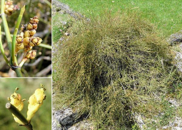 Ephedra distachya L. subsp. helvetica (C.A.Mey.) Asch. & Graebn.
