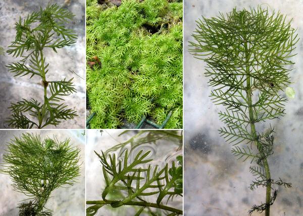 Hottonia palustris L.