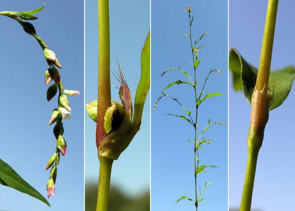 Persicaria hydropiper (L.) Delarbre