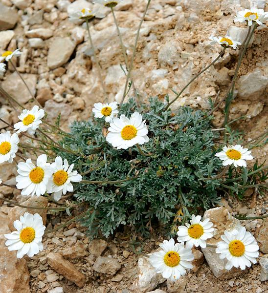 Anthemis cretica L. subsp. columnae (Ten.) Franzén