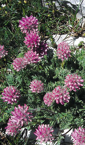 Anthyllis montana L. subsp. atropurpurea (Vuk.) Pignatti