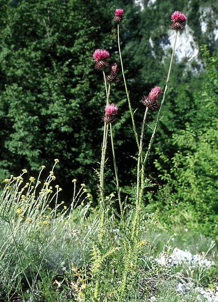 Carduus collinus Waldst. & Kit. subsp. collinus