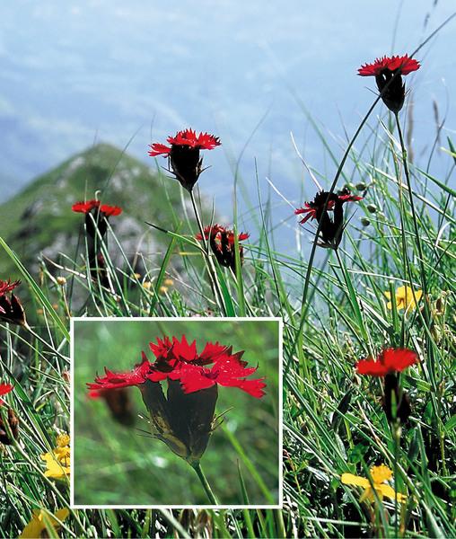 Dianthus barbatus L. subsp. compactus (Kit.) Heuff.