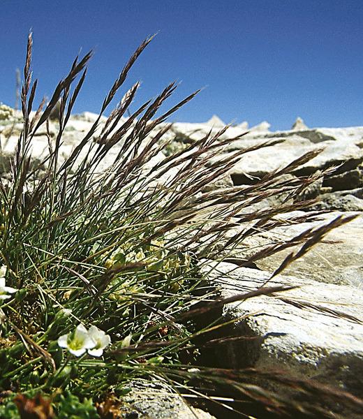Festuca violacea Ser. ex Gaudin subsp. italica Foggi, Gr.Rossi & Signorini