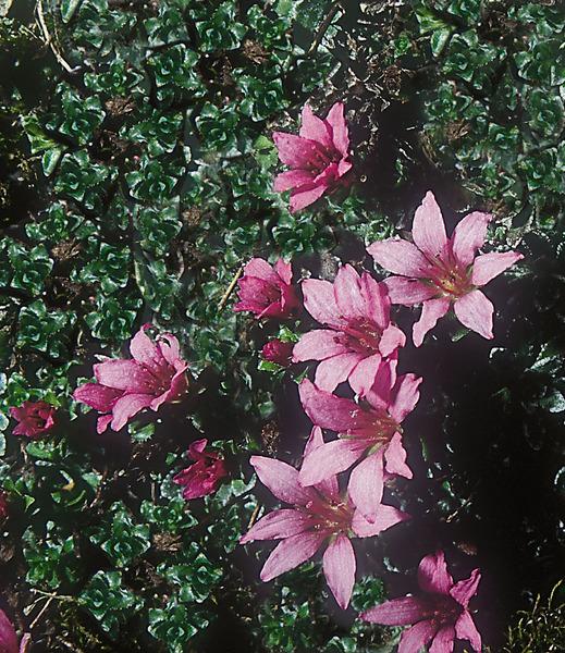 Saxifraga oppositifolia L. subsp. speciosa (Dörfl. & Hayek) Engl. & Irmsch.