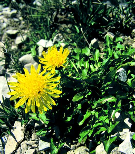 Taraxacum apenninum (group)