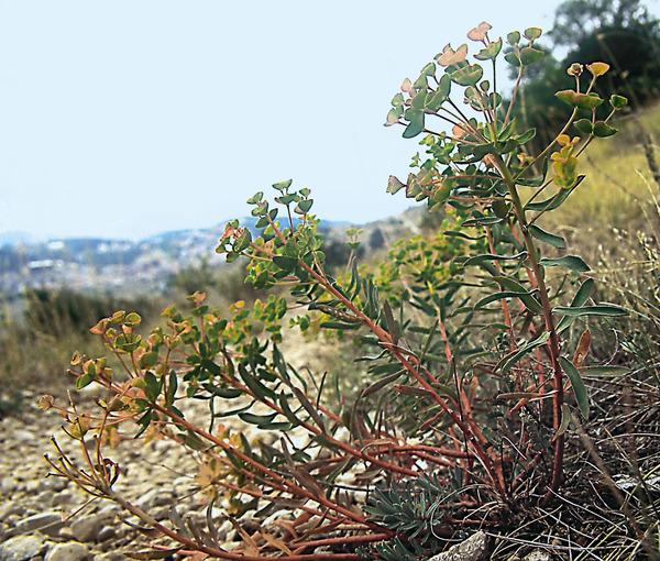 Euphorbia platyphyllos L. subsp. literata (Jacq.) Holub
