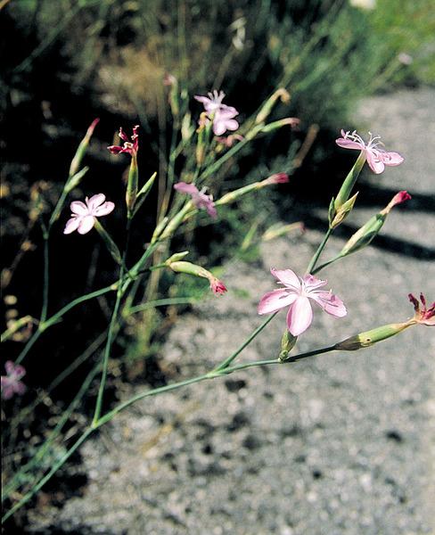 Dianthus ciliatus Guss. subsp. ciliatus