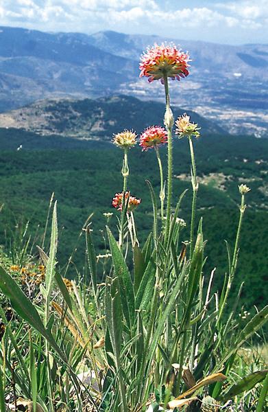Knautia collina Jord.