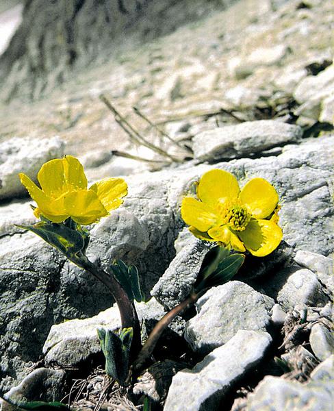 Ranunculus brevifolius Ten.