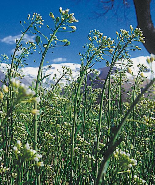 Mummenhoffia alliacea (L.) Esmailbegi & Al-Shehbaz