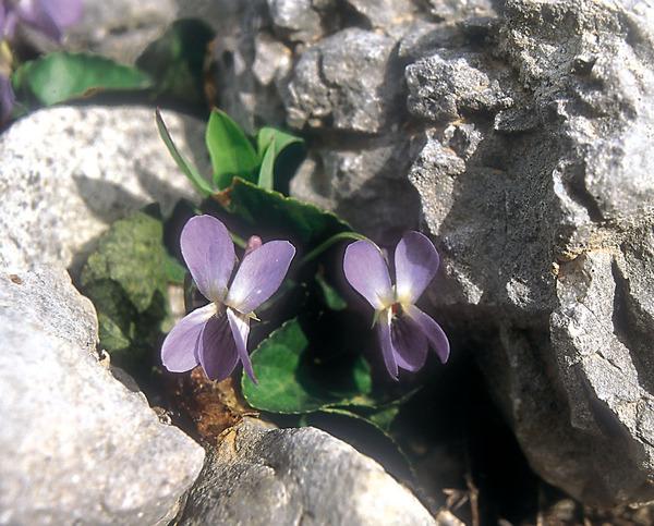 Viola rupestris F.W.Schmidt subsp. rupestris