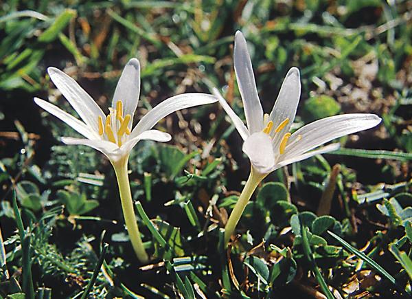 Colchicum alpinum Lam. & DC. subsp. parvulum (Ten.) Arcang.