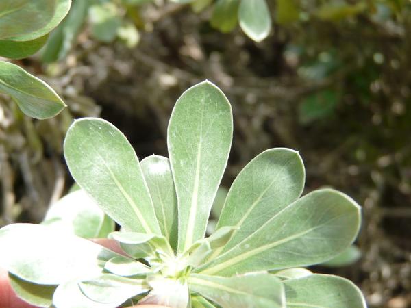 Asteriscus sericeus (L.. f.) DC.