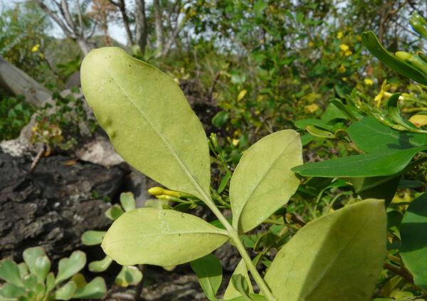 Jasminum odoratissimum L.