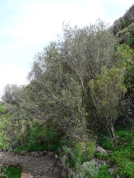 Olea europaea L. subsp. cerasiformis G. Kunkel & Sunding