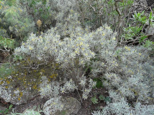 Neochamaelea pulverulenta (Vent.) Erdtman