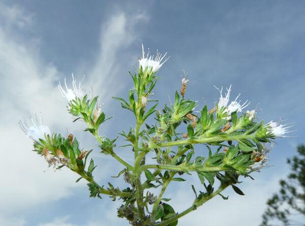 Echium strictum L. f.