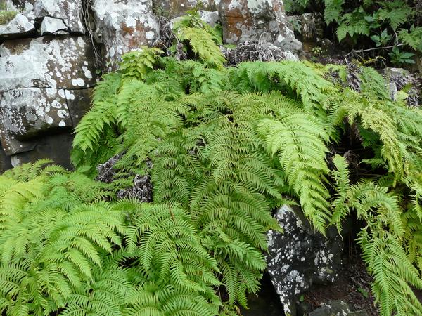 Woodwardia radicans (L.) Sm.
