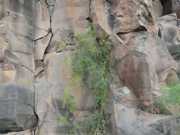 Asparagus umbellatus Link