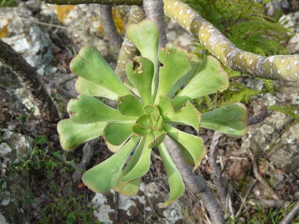 Aeonium manriqueorum C. Bolle
