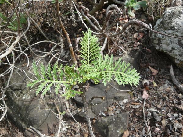 Gonospermum fruticosum Less.