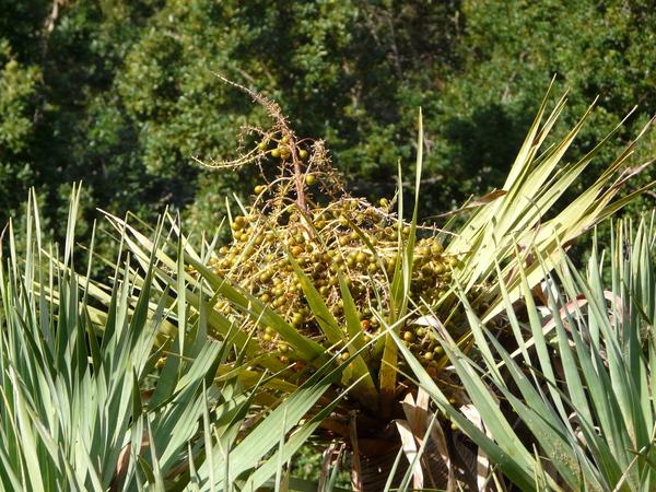 Dracaena draco (L.) L. subsp. draco