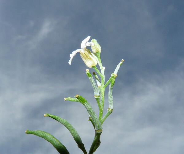 Parolinia glabriuscula Montelongo & Bramwell