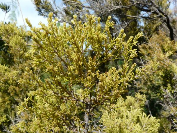 Erica arborea L.