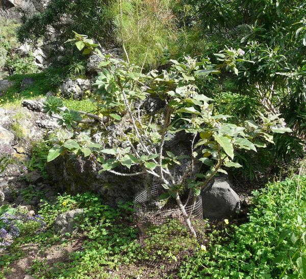 Solanum vespertilio Aiton