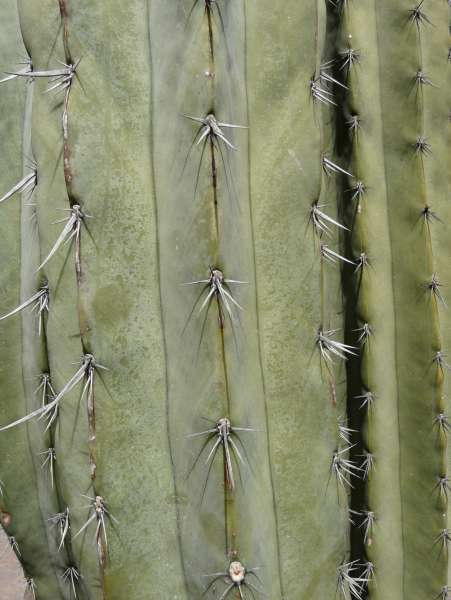 Pachycereus weberi (J.M.Coult.) Backeb.