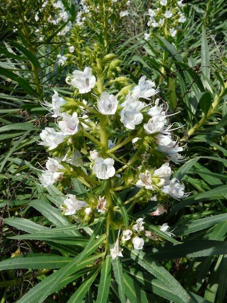 Echium nervosum Dryand.