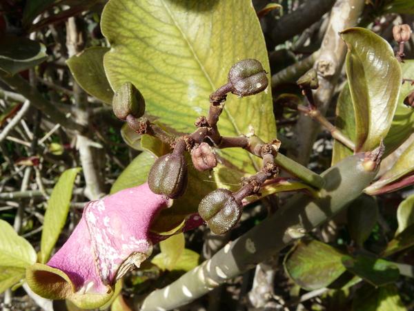 Euphorbia pseudograntii Bruyns