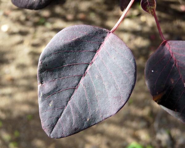 Euphorbia cotinifolia L.
