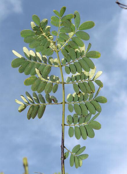 Caesalpinia pulcherrima (L.) Sw.