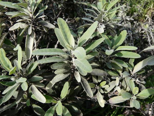 Teucrium heterophyllum L'Hér. subsp. brevipilosum Gaisberg