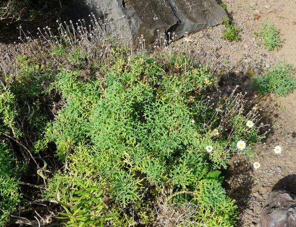Argyranthemum frutescens (L.) Sch.Bip. subsp. frutescens