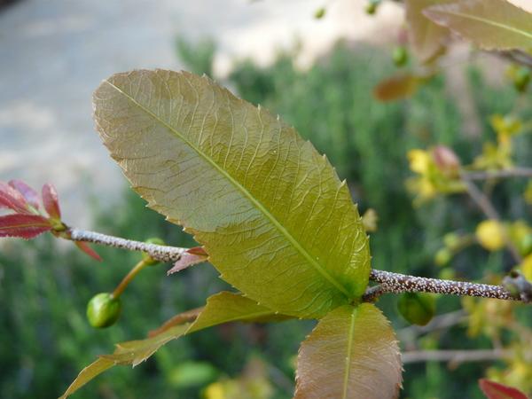 Ochna serrulata (Hochst.) Walp.